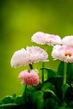 Marguerites roses renversantes Image stock