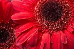 Marguerites rouges de gerbera Photographie stock