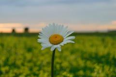 Marguerites sauvages blanches le soir au coucher du soleil Images stock