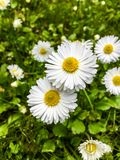 Marguerites sauvages blanches sur le vert image libre de droits