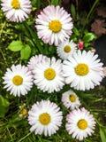 Marguerites sauvages blanches sur un pré vert image libre de droits