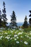 Marguerites selvagens no parque nacional do Acadia Foto de Stock Royalty Free