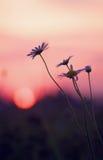 Marguerites sensibles et coucher du soleil Image stock