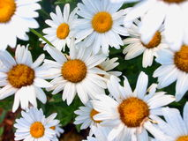Marguerites Stock Photo