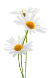 Marguerites sur le fond blanc photo libre de droits