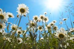 Marguerites sur le fond de ciel bleu Image libre de droits