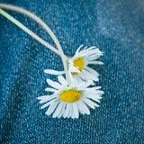 Marguerites sur le fond de la blue-jean Images libres de droits
