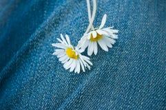 Marguerites sur le fond de la blue-jean Photographie stock