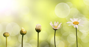 Marguerites sur le fond vert de nature Image libre de droits