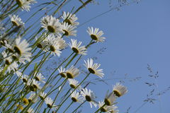 Marguerites Stock Photography