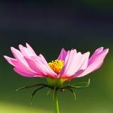 Mari gold. The pink mari gold flower Royalty Free Stock Photo