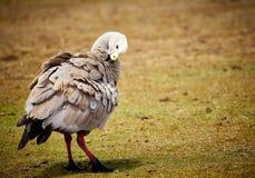 Maria Island - Kaap Barron Goose Stock Afbeelding