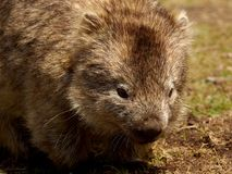 Maria Island - Wombat close up Stock Photos