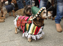Mariachi dachshund. Dachshund disguised as a mariachi on the dachshunds' walk in Krakow, Poland Stock Images