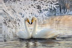 Mariage des cygnes blancs Photos libres de droits