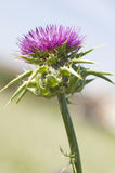 Marian thistle Stock Photo