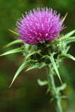 Marian thistle Royalty Free Stock Images