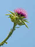 Marian thistle. A close up of a Marian thistle, scientific name silybum marianum Royalty Free Stock Images