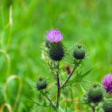Marian thistle flower (Silybum marianum) Royalty Free Stock Images