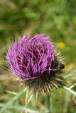 Marian thistle flower (Silybum marianum) Stock Photo