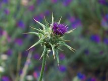 Marian thistle with purple flower royalty free stock photos