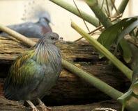 Mariana fruit dove, Philadelphia Zoo spring Stock Photo