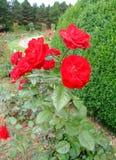 Mariandel Rosa Imagens de Stock Royalty Free