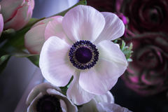 Marianne white. Anemore. Anemone means Windflower in Greek. Alone flower. Marianne white. Anemore. Anemone means Windflower in Greek Royalty Free Stock Photography