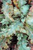 Marianus cardus marianum Silybum, thistle молока, благословленное milkthistle, thistle Мэриан, thistle Mary или шотландский thist стоковое фото