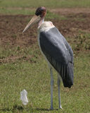 Maribou stork. And litter, Masai Mara, Kenya Royalty Free Stock Images