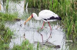 Maribou Stork. A Maribou Stork searches for food Stock Photography