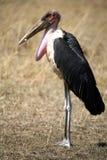 Maribou Stork Royalty Free Stock Photo
