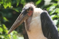 Maribou Stork Royalty Free Stock Images