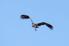 Maribou Stork - Chobe N.P. Botswana, Africa Stock Image