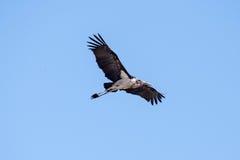 Maribou Stork - Chobe N.P. Botswana, Africa Royalty Free Stock Images