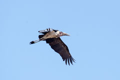 Maribou Stork - Chobe N.P. Botswana, Africa Stock Photo