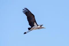 Maribou Stork - Chobe N.P. Botswana, Africa Stock Photography