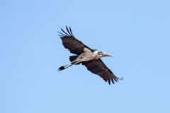 Maribou Stork - Chobe N.P. Botswana, Africa Stock Images