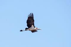 Maribou Stork - Chobe N.P. Botswana, Africa Royalty Free Stock Photography