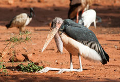 Maribou stork on haunches Stock Photography