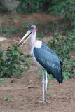 Maribou Stork. The Marabou Stork (Leptoptilos crumeniferus) is a large wading bird in the stork family Ciconiidae. It breeds in Africa south of the Sahara, in Royalty Free Stock Photo