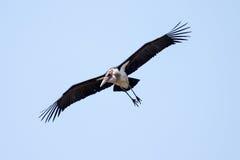 Maribou Stork - Okavango Delta - Moremi N.P. Stock Photo