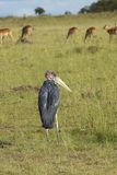 Maribu Stork and Impala in Lewa Conservancy, Kenya Stock Images