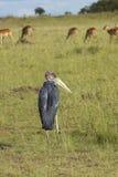 Maribuooievaar en Impala in Lewa-Milieubescherming, Kenia Stock Afbeeldingen