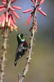 marico Ναμίμπια sunbird Στοκ φωτογραφίες με δικαίωμα ελεύθερης χρήσης