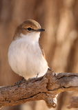 Marico Flycatcher Stock Image