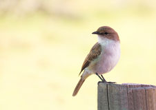 Marico Flycatcher Royalty Free Stock Photography