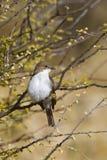 Marico Flycatcher, (Bradornis-mariquensis) gehockt auf einem Dornenbusch Stockbild