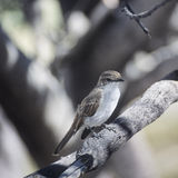 Marico flycatcher in Etosha National Park Stock Image