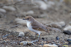 Marico Flycatcher on the ground Royalty Free Stock Images